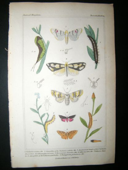 Cuvier C1835 Antique Hand Col Print. Chelonia, Caterpillar, Dicranoura 99 Moths | Albion Prints